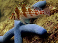   back me hawkfish starfish buddies  